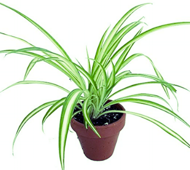 Hirt's Spider Plant