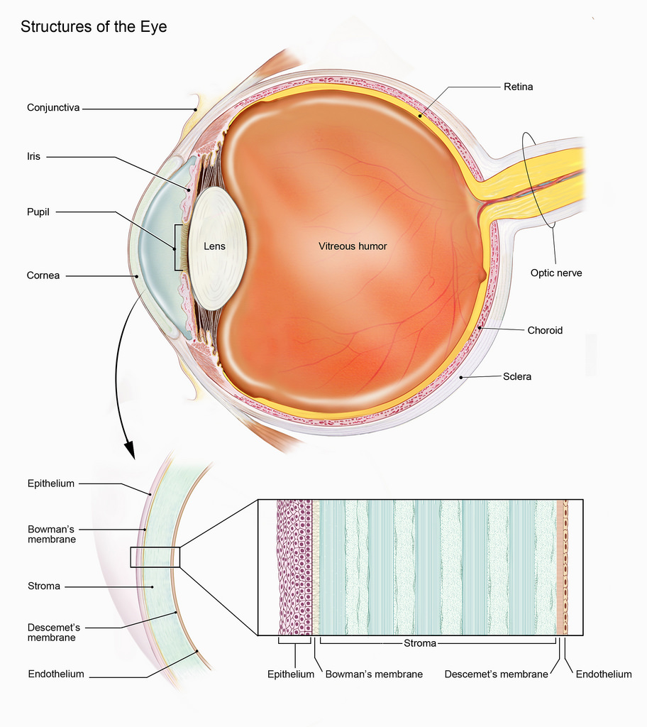 Keratoconus affects the cornea, the clear, front part of the eye pictured at the left in this image.