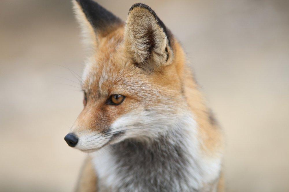 fox-2825118_1280.jpg