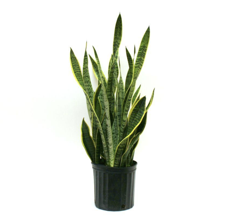 Sansevieria (Snake plant)
