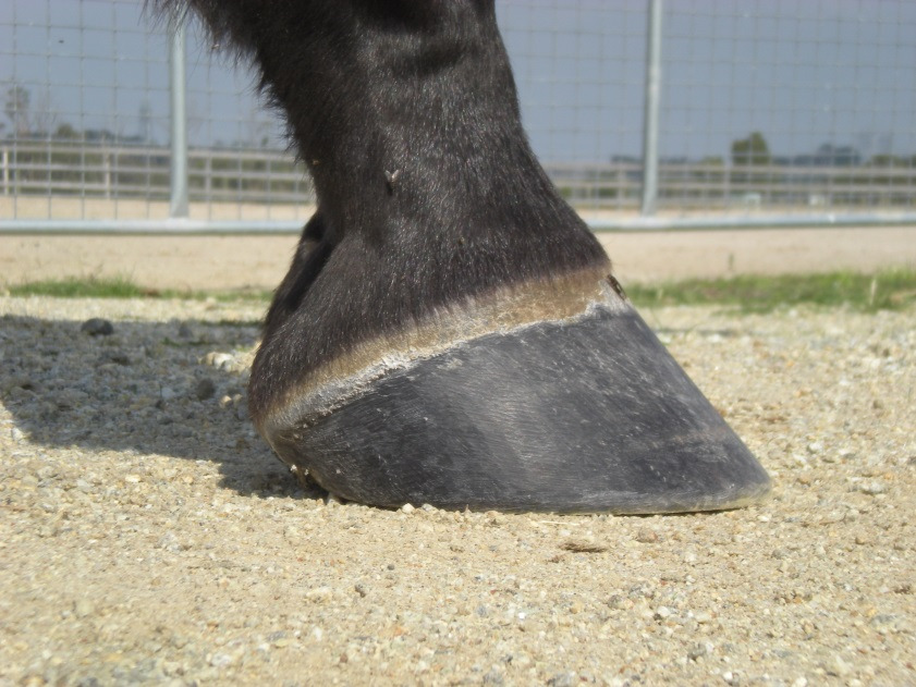 (Fig.1) a straight and correct hoof wall.