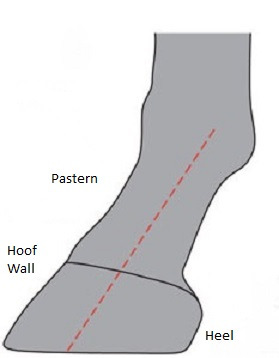 (Fig.1) correct hoof-pastern axis
