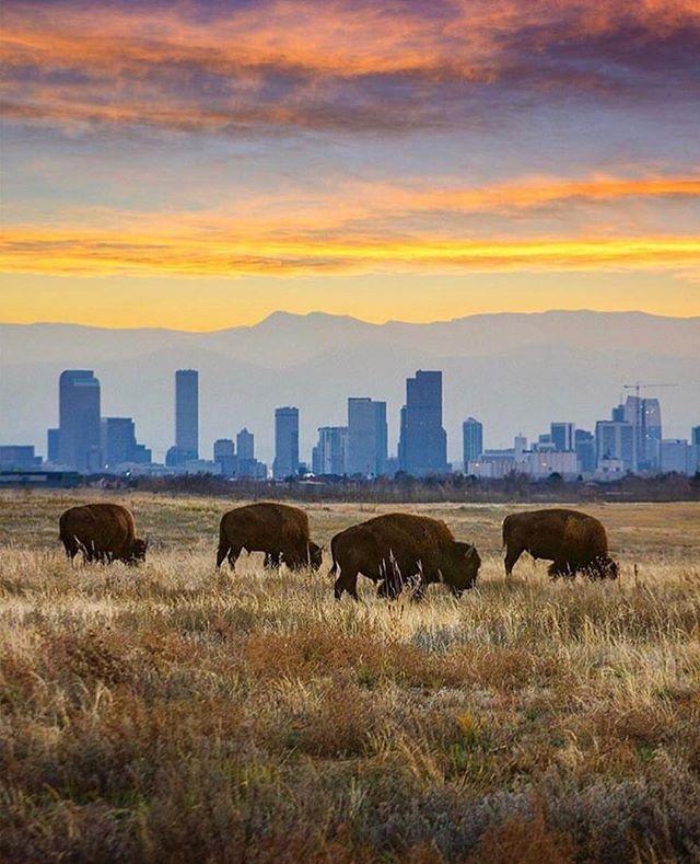 Where the Buffalo roam! 📷 from #Colorado by @davie8thebaby  #postcardworthy #milehigh #buffalo #rockymountains #roadtrip