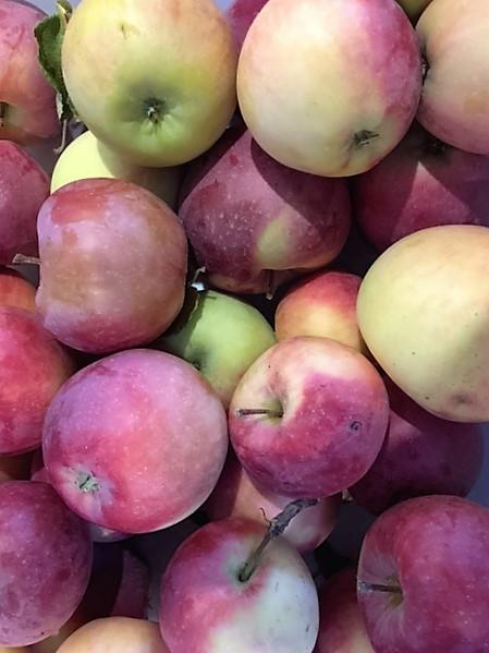 apples from garden.JPG