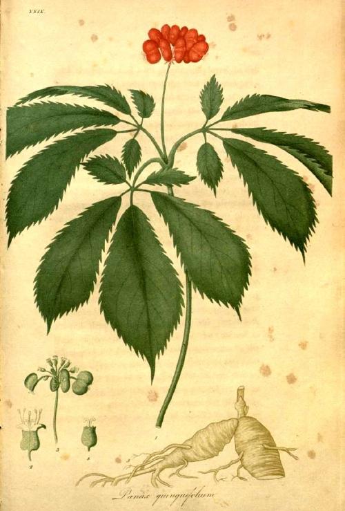 Panax quinquefolius  ,  Jacob Bigelow,1817-1820