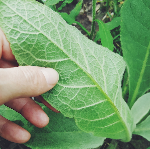 close-up of the underside of a mullein leaf