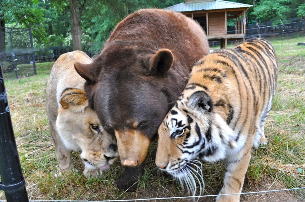 "the-blossom-tree :      awwww-cute :   ""For 13 years, Baloo, Leo and Shere Khan have been best friends. The three animals, who live at Noah's Ark Animal Sanctuary in Georgia [USA], were rescued as cubs from a drug dealer who kept them as pets. In the wild, the three species hail from different continents and would have never met      spiritual blog"