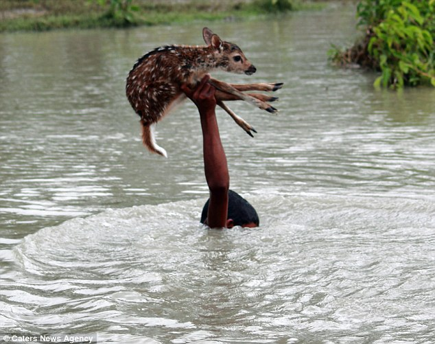 deerbabystyles :         A young boy in Bangladesh risked his life in a surging river to rescue a drowning baby deer, prompting cheers from locals who weren't sure whether Belal would reach the other side or be swept away. [ x ]       this means everything to me