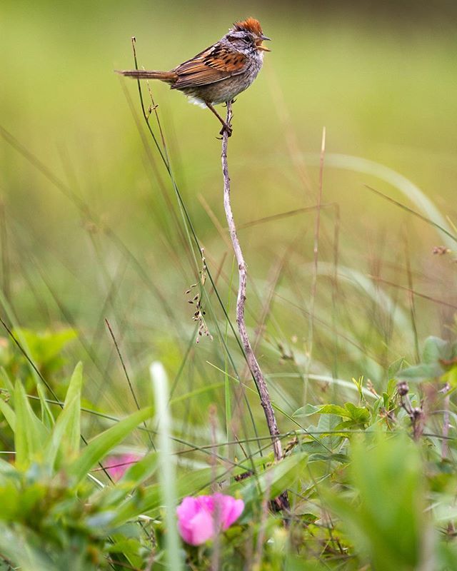 A chipping sparrow (Spizella passerina), sporting its distinct orange mohawk, calling amongst the flowering dunes in Prince Edward Island National Park. The park has been designated a Canadian Important Bird Area, specifically providing nesting habitat for the endangered piping plover.