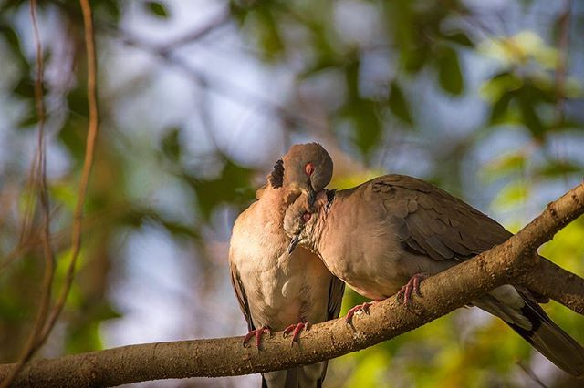 Is love in the air? Mutual preening between two African mourning doves (Streptopelia decipiens). Birds groom their feathers to remove debris and spread waterproofing oils from the uropygial gland. For doves, preening can also signal the start of courtship.