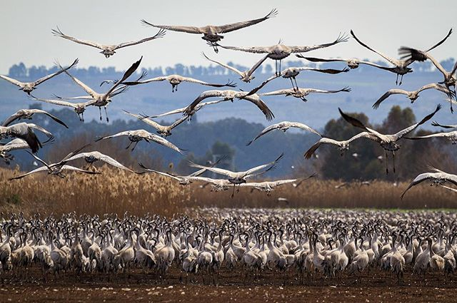 A flock of common cranes (Grus grus) take off from the Agamon Hula wetland in Israel. This wetland is one of last remnants of a habitat that stretched across Lebanon and Israel for migratory birds flying along the Syrian-African Rift Valley between Europe, Asia, and Africa. Tens of thousands of grey cranes are fed here by local farmers to keep them from damaging their crops.