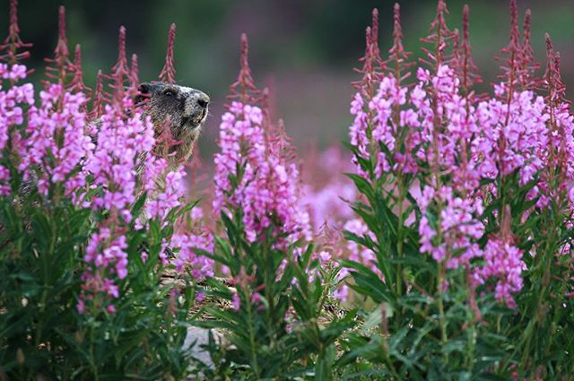 A hoary marmot (Marmota caligata) peeks out from behind a patch of bright-pink fireweed. Hours into an alpine hike into Tonquin Valley, British Columbia, I stopped to tie my boot near a boulder. When I looked up, I saw this rodent staring right at me. Even in the midst of sweat, pain, and your own labored breathing, it pays to take moments to pause and remind yourself: it isn't a race.