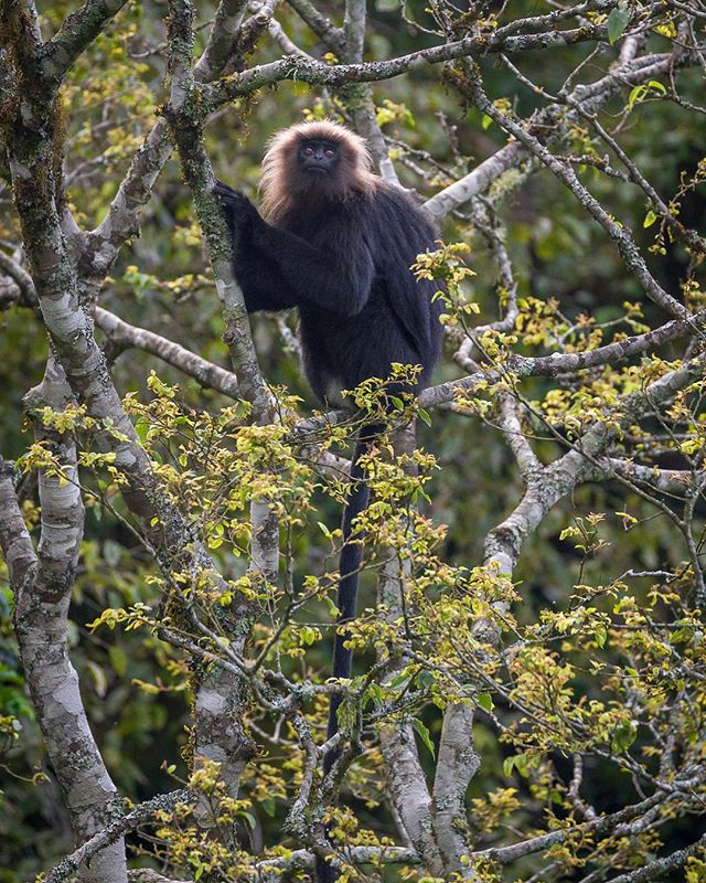 A Nilgiri langur (Trachypithecus johnii) watches other members of its troop move through the canopy. A IUCN Vulnerable species only found in montane forests of the Western Ghats in Southern India, this langur is threatened by habitat loss, roadkill, and poaching. Their pelts are used to make drums and their meat and blood are used in traditional medicine—even as an aphrodisiac.