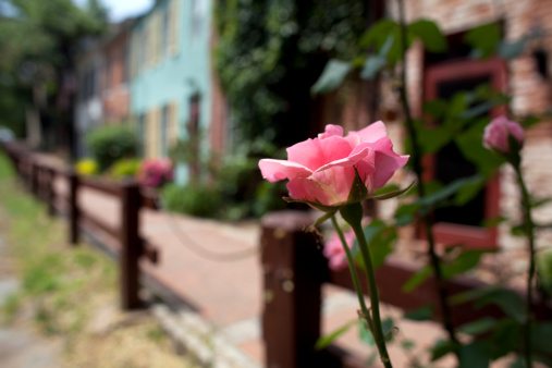 The endless rose gardens of Georgetown