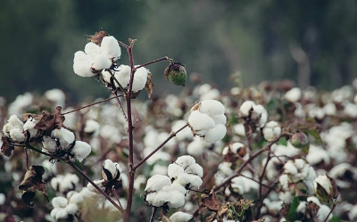 Cotton Fiber - Being from the south cotton will always have a nostalgic quality for me. If you've ever handled raw cotton you will be surprised how hard it can be to remove the seeds in the middle. The invention of the cotton gin must have truly been a game changer. You can also hand spin cotton from around the seeds with a drop spindle with some practice and lots of patience. I probably don't need to tell you why cottons is so great, it's truly one of the most versatile soft traditional fibers out there. Cotton has a shorter fiber length so you'd want to use a quick rotation and short worsted spinning. Cotton also has more of a drape than a springy quality, similar to a yarn or project you would make with flax. Keep this in mind when planning your dream summer yarns.