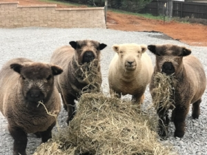 Baby Doll Sheep from Heaven's Bales