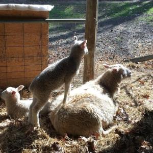 A Momma BFL and her lamb at Barnyard Blue