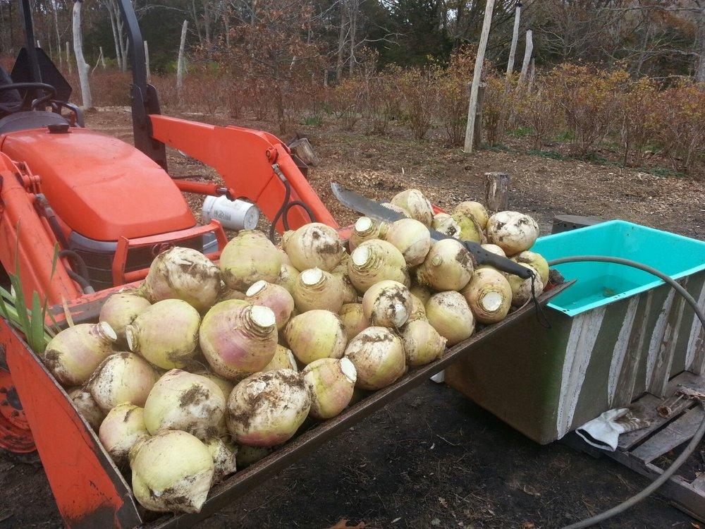 300 lbs of turnips also.jpg