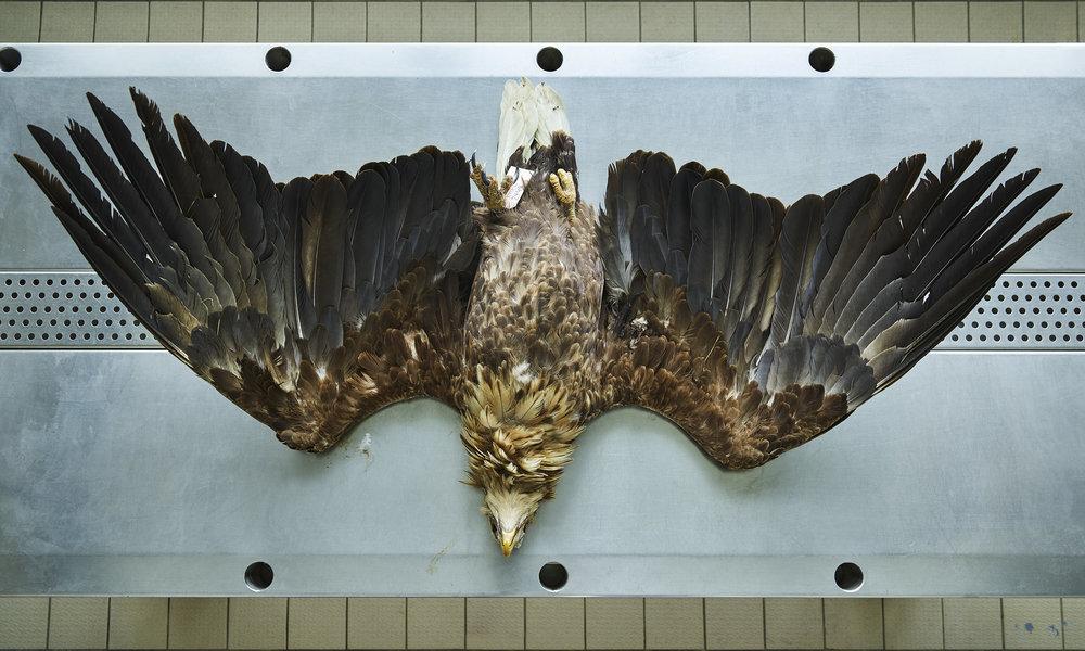 THOMAS STRUTH Seeadler (Haliaeetus albicilla), Leibniz IZW, Berlin, 2016 Inkjet print Image: 34 1/4 x 57 1/8 in. (87.1 x 145.1 cm) Frame: 48 1/4 x 70 1/2 x 1 3/4 in. (122.6 x 179.1 x 4.4 cm) Edition of 6 (20448)