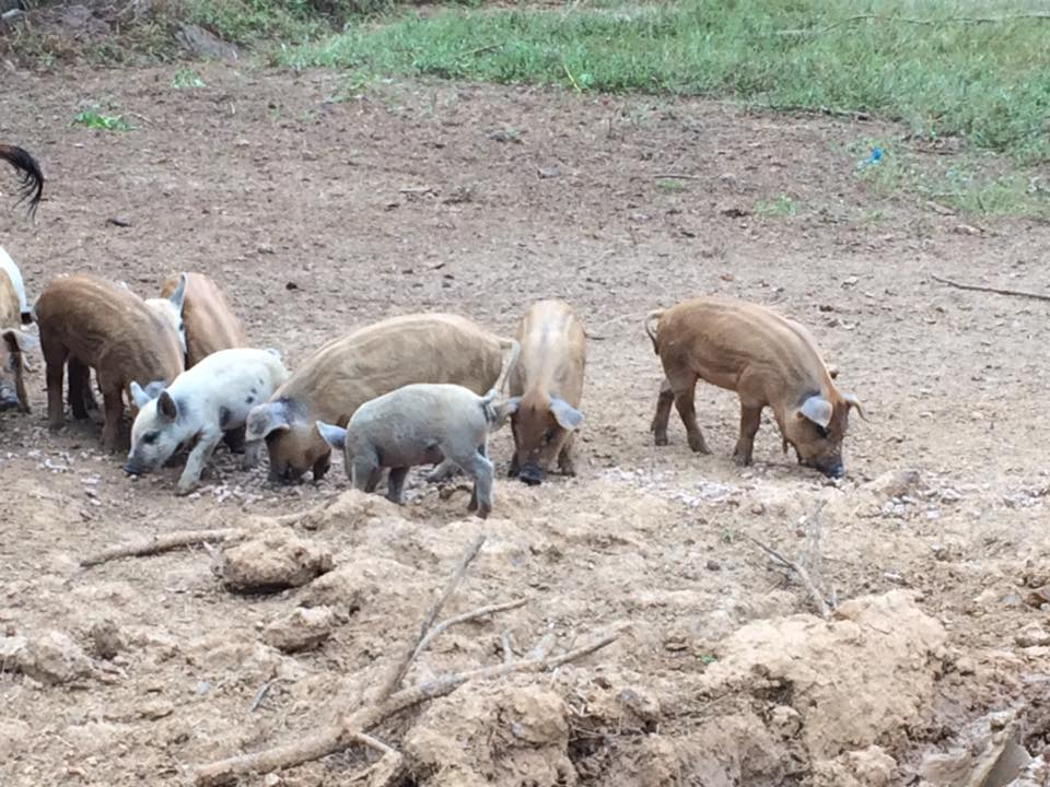 Jimmie Dean's pigs are the light colored piglets with random spots.