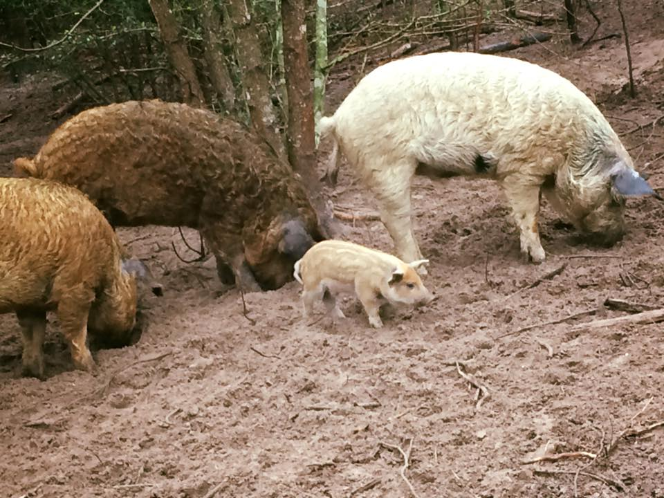 First & Second litters of pigs eating together