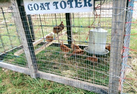 chicks in the goat toter.jpg