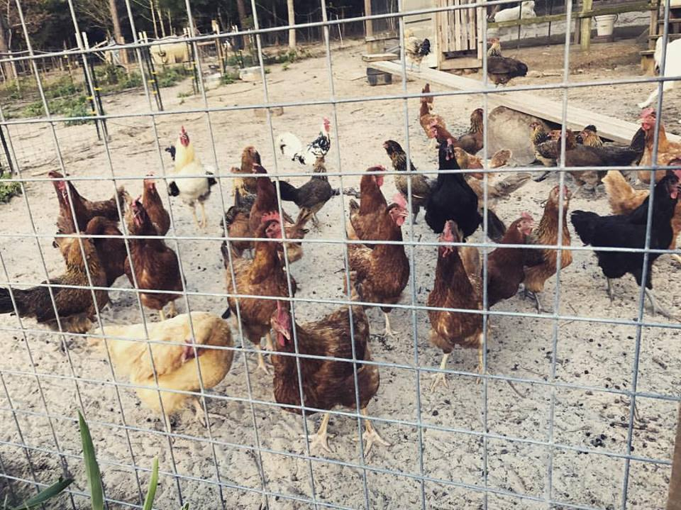 chickens waiting on scratch.jpg