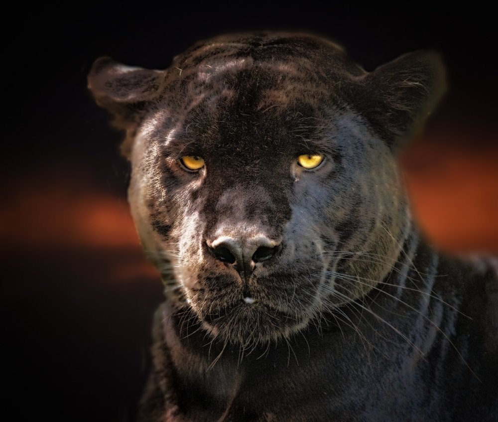 black-panther-3463377_1920 (1).jpg