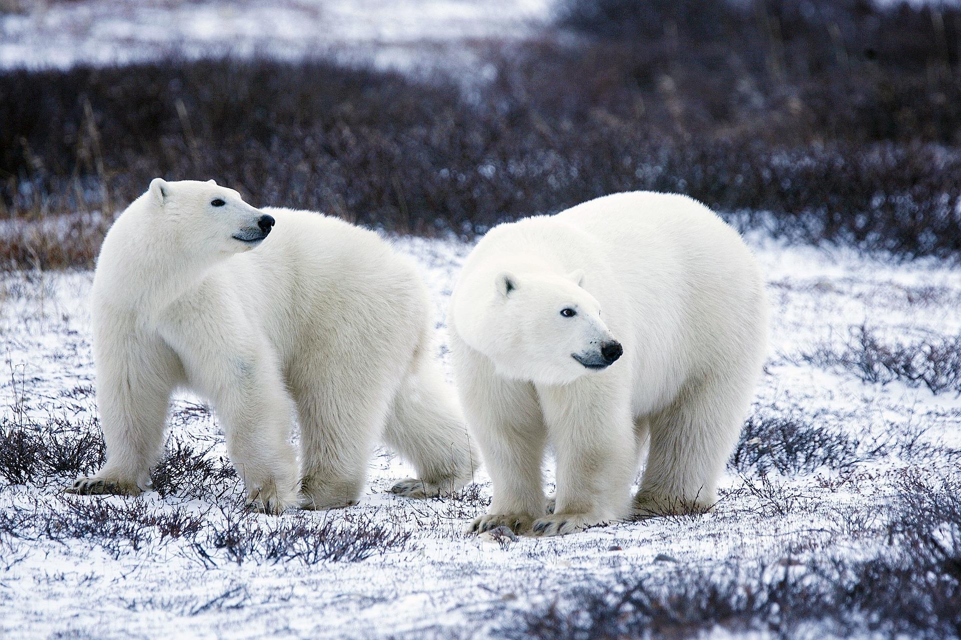 Sacred Spirit Shaman Spirit Animal Symbolism Polar Bear Sacred