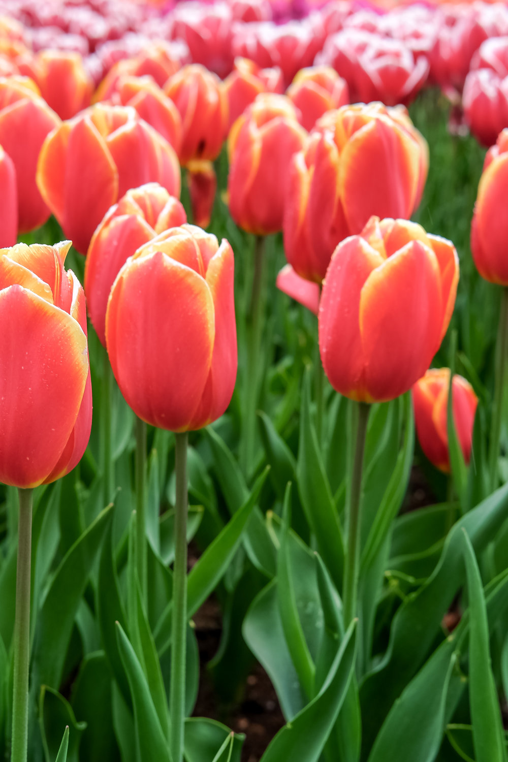 Favorite Flower: Tulips