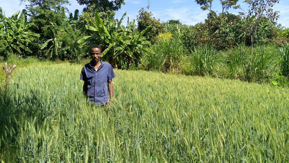 Yakob Soreto standing inside his wheat farm.jpg