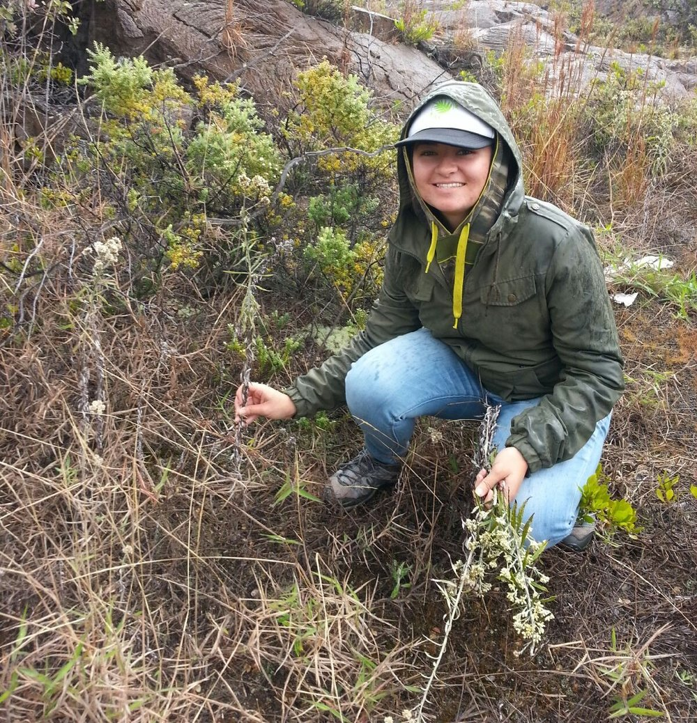 Kalena Spinola, an undergraduate student in the Advanced Tropical Island Ecology and Evolution course collecting Pseudognaphalium sandwicensium kilaueanum