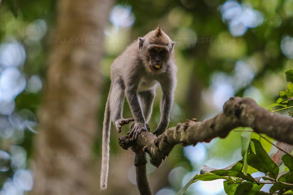 Monkey Forest 8 (1 of 1).jpg