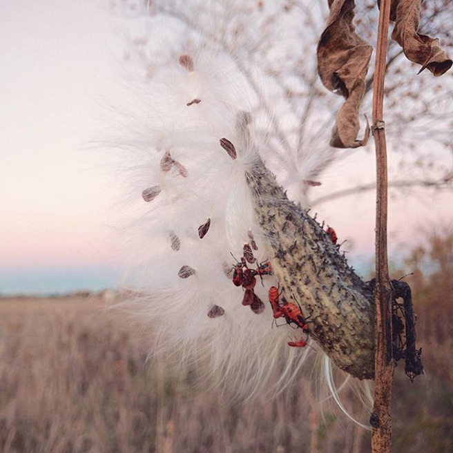 Milkweed bugs cling onto the last milkweed pod of the season by Purdue University Student Farm