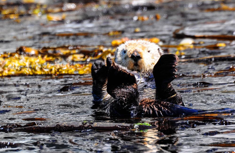 Sea Otter Series 3, Inside Passage, Alaska 2011 (M)
