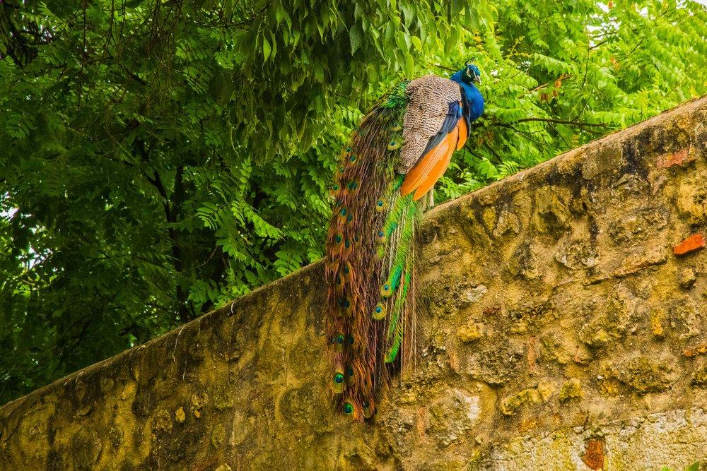 Peacock. Lisbon, Portugal 2018