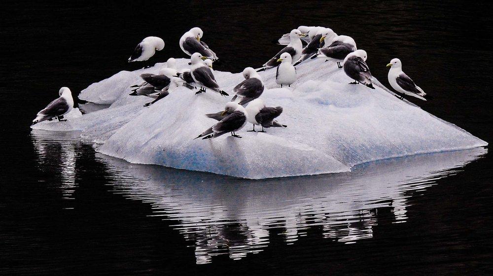 White Wagtails.  Inside Passage, Alaska 2011