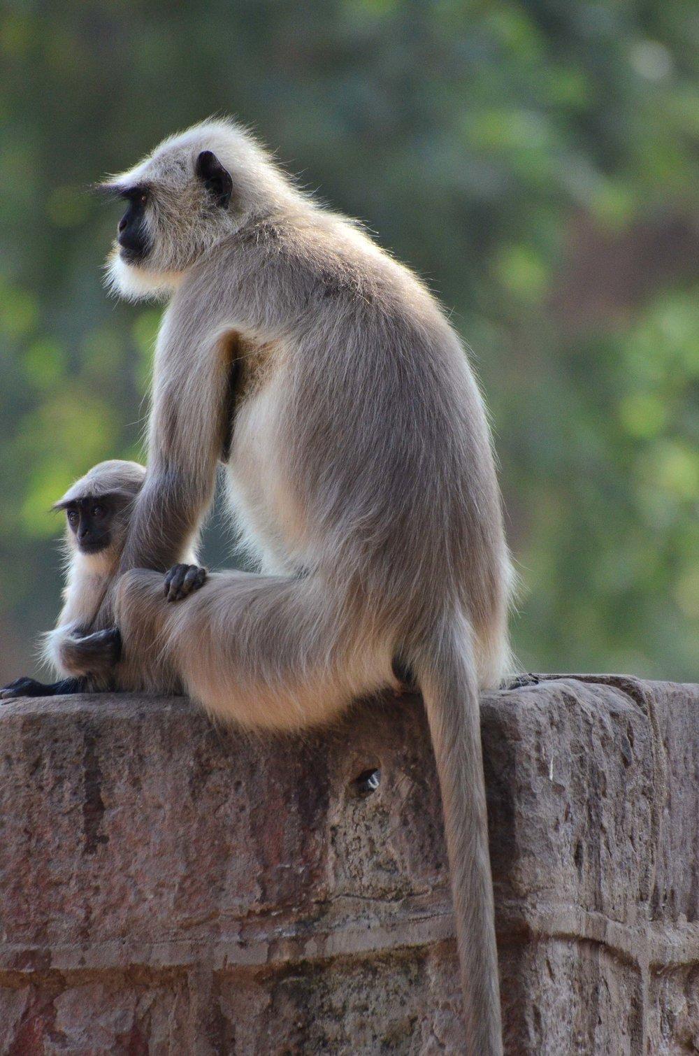 Mom and Baby. Ranthambore National Park, India 2012