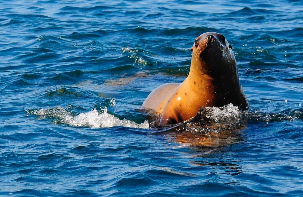 Seal.  Inside Passage, Alaska 2011