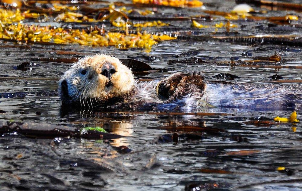 Sea Otter Chillin'.  Inside Passage, Alaska 2011