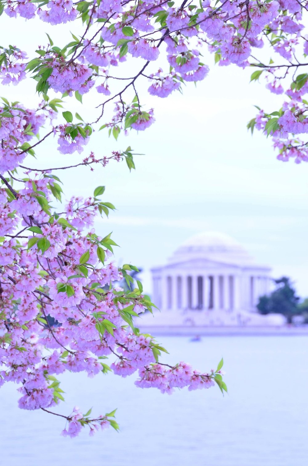 Cherry Blossums. Tidal Basin, Wash DC 2013
