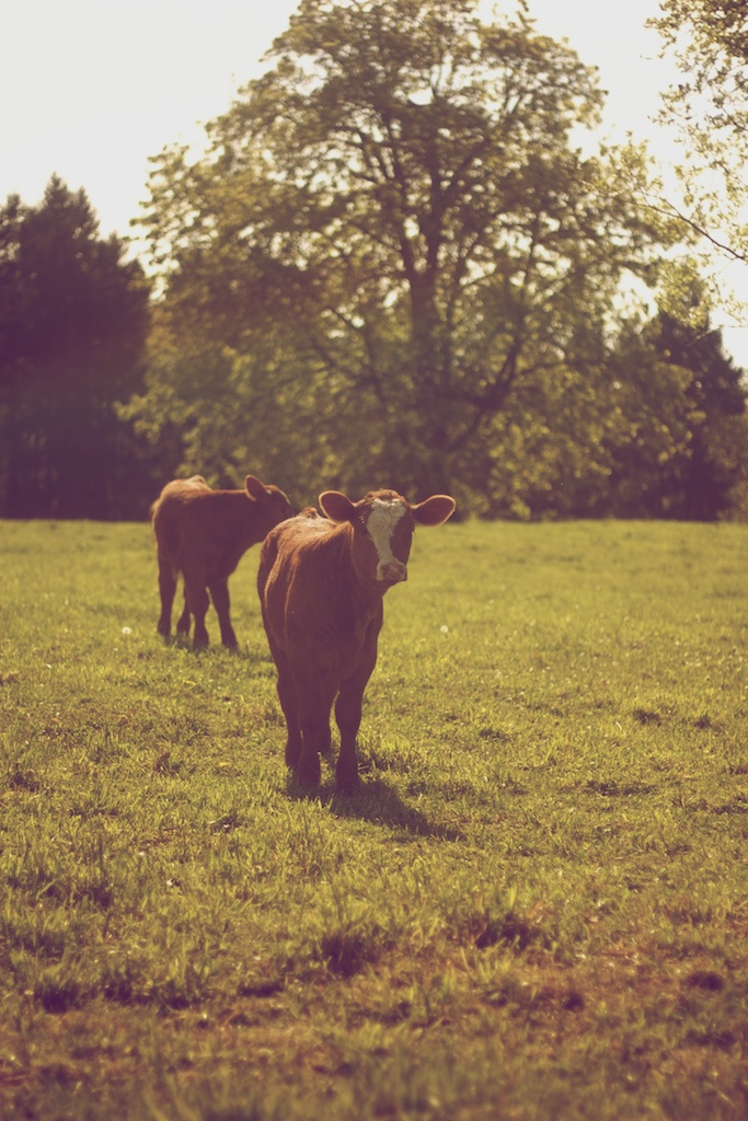 Calves on spring pasture