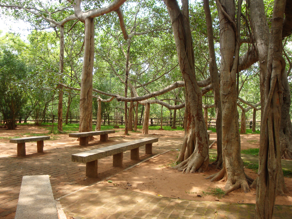 banyan tree_matrimandir