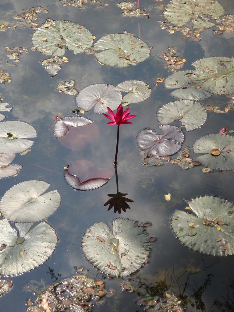 single pink lotus