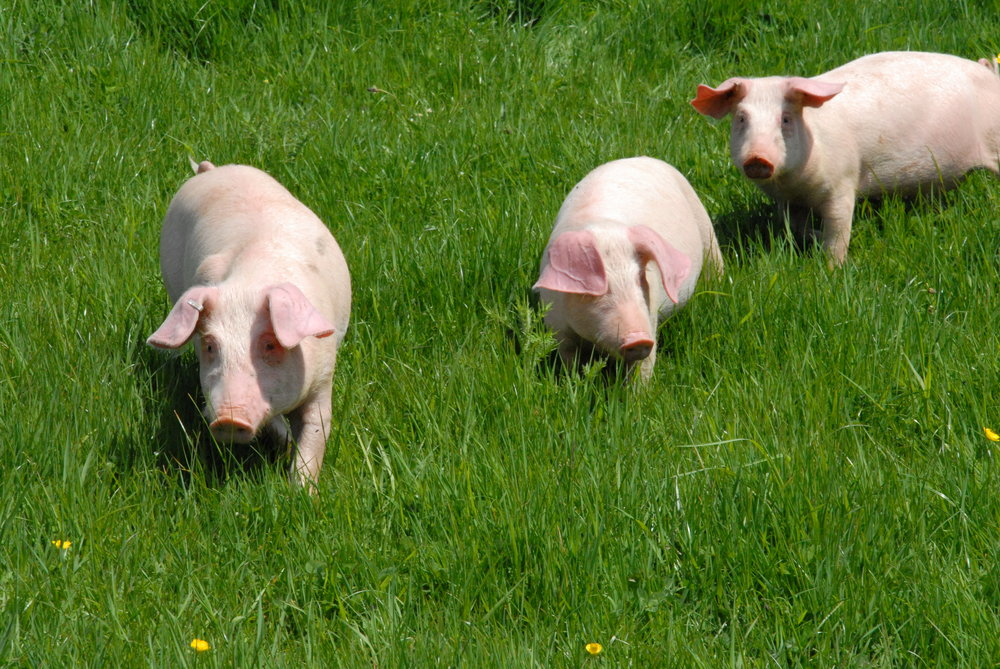 may 10 2010  pigs 009.JPG