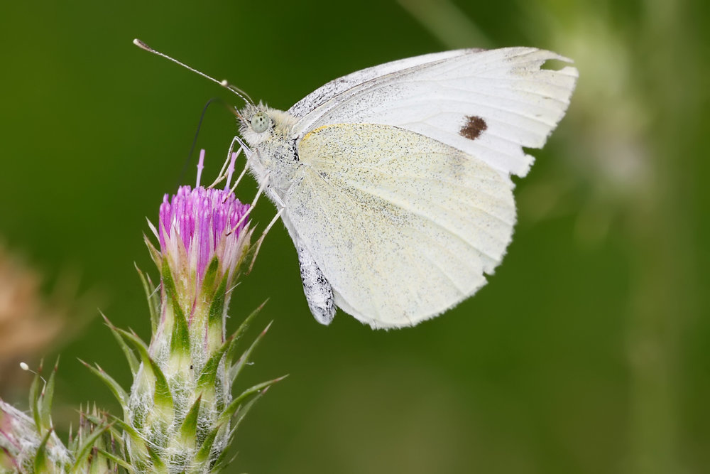cabbage-white-butterfly.jpg