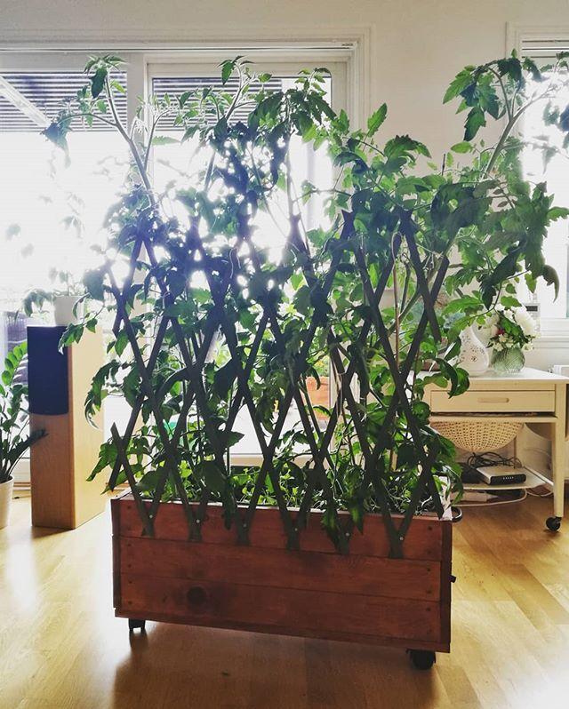 Herr og fru tomat ble litt lei seg i blåseværet 🍅🍅🍅 Så de fikk ny espalier og en liten stuss innendørs på morrakvisten 🌱 Hvis noen vet noe om beskjæring av planter må dere gjerne gi meg noen råd 😅