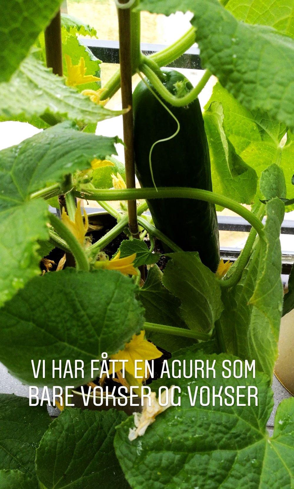 Vi høstet vår første agurk! Den smakte selvfølgelig himmelsk. I skrivende stund har vi  kanskje 14 agurker som er like store, mon tro hvordan vi skal få spist alle de.