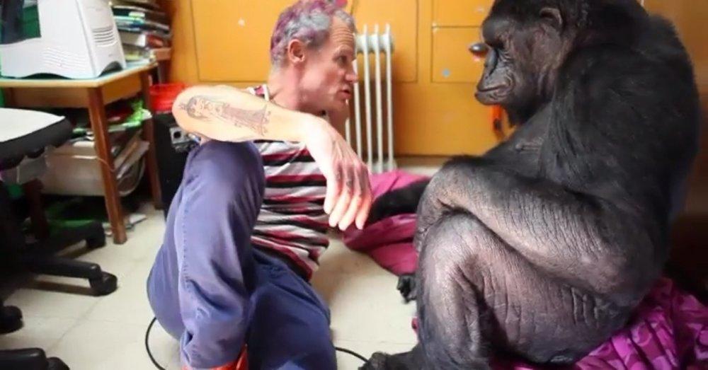 La gorila Koko tomó clases con Flea de los Red Hot Chili Peppers y ahora puede tocar el bajo