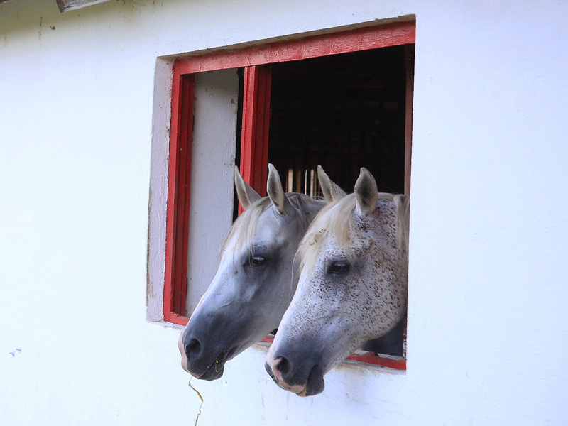 Pistrui & Elzi  2 arabians that are living their happy days at the Farm. Not used for riding.